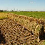 米ができるまでをよく知らないので稲刈り体験してみた